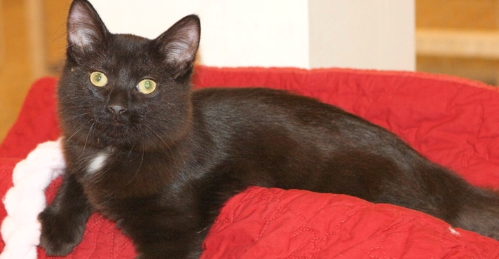 Featured MAPS pet of the week lili marshfield area shelter cat adoption