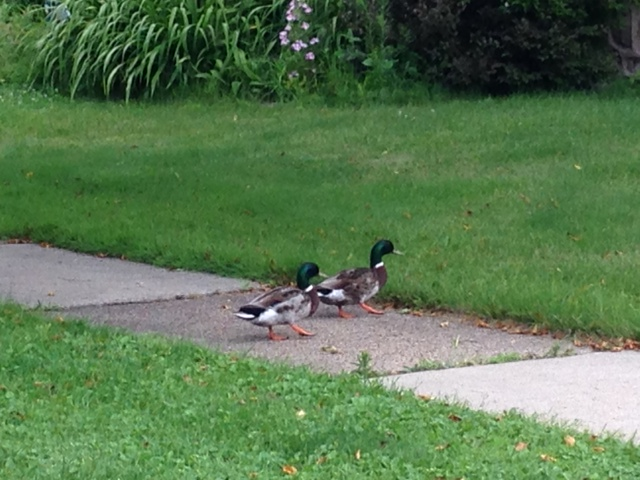 Two male mallards cross a sidewalk at the corner of Walnut Avenue and Fifth Street. A resident in the area said the ducks have been nesting in her garden.  (Adam Hocking photo)