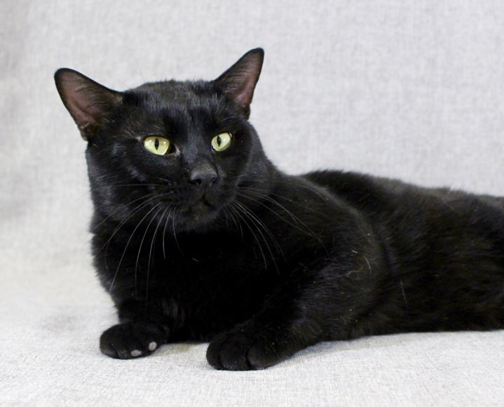Featured MAPS pet of the week marshfield area shelter adoption cat charlie